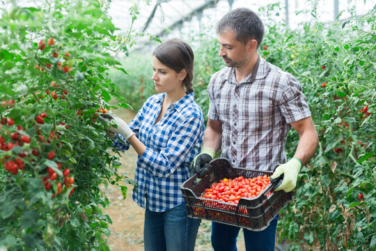 Man helps woman to harvest crop of ripe red cherry tomatoes in greenhouse