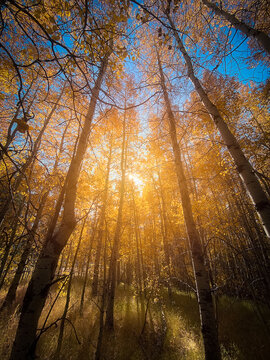 Looking up canopy of trees with fall colors into sunlight