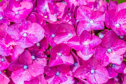 Fond fleurs roses d' hortensias