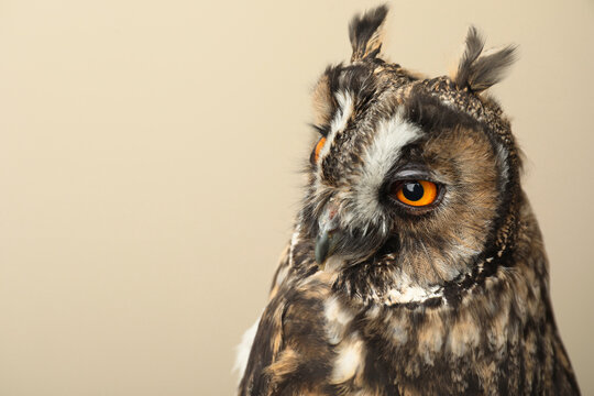 Beautiful eagle owl on beige background, space for text. Predatory bird