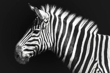 Fototapeta Zebra