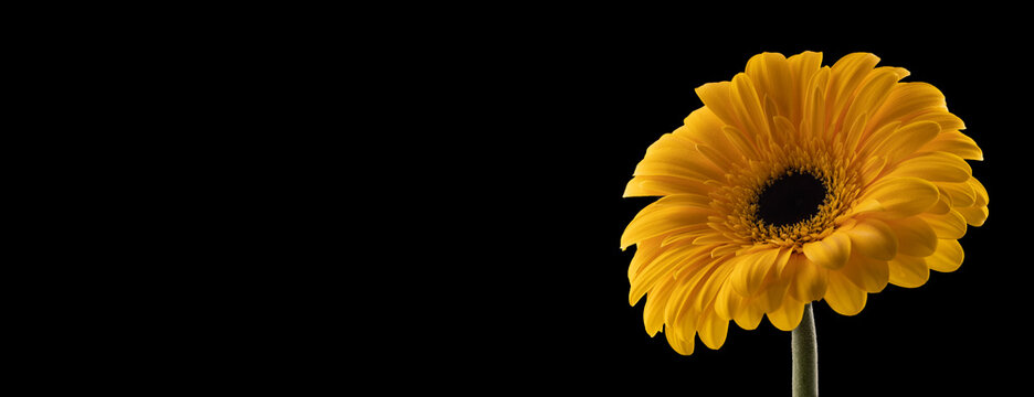 Gerbera flower of yellow color on black background, banner