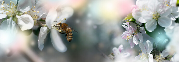Honeybee collecting pollen at a  flower blossom