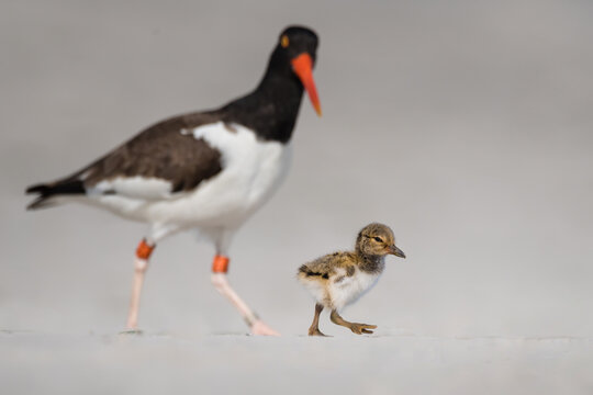 a farther black skimmer is guarding its baby on the beach