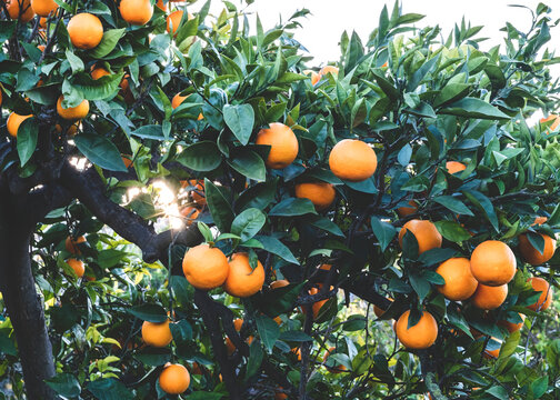 orange grove background