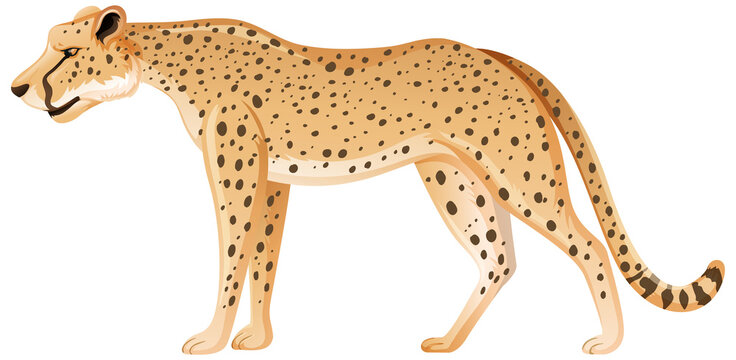 Adult leopard in standing position on white background