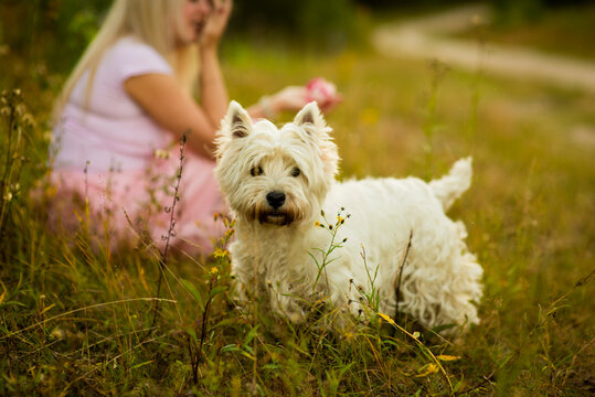 west high white terrier, selective focus
