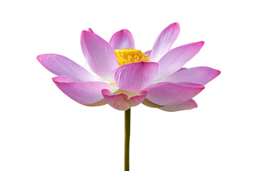 Wall Mural - lotus Pink Isolate White flowers bloom