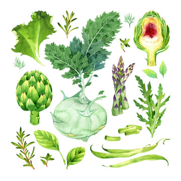 Watercolor isolated set of green vegetables on white background: kohlrabi, artichoke, asparagus, green beans, spinach, arugula, rosemary, thyme