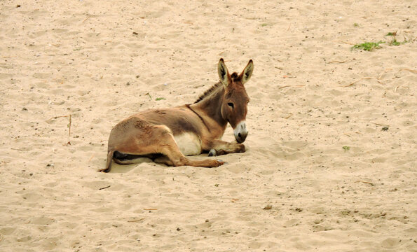 Light brown donkey lying in Egyptian sand.