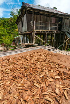 Cinchona bark, Annah Rais Bidayuh longhouse, Kuching, Sarawakn Borneo,