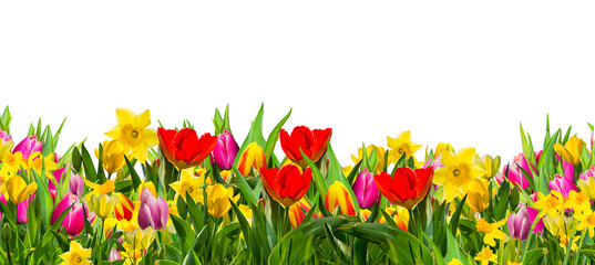 Colorful field of spring flowers, tulips;daffodils, photographed in studio, against white background.