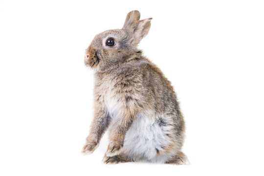 Cute gray,wild rabbit on isolated background in studio,standing on hind legs.
