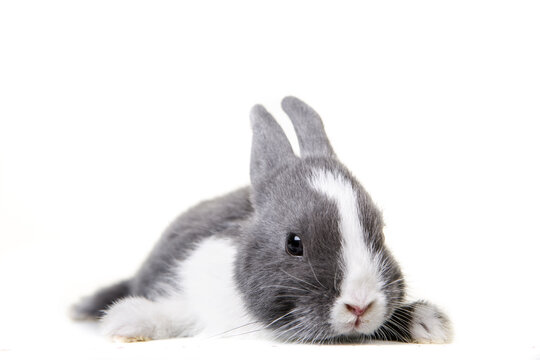 Cute gray, white dwarf rabbit, easter bunny lies on white isolated background on belly.