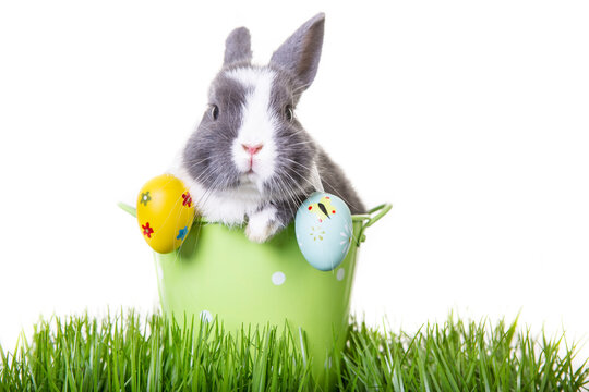 Gray, white dwarf rabbit, easter bunny sitting in flower pot with easter eggs on ears.
