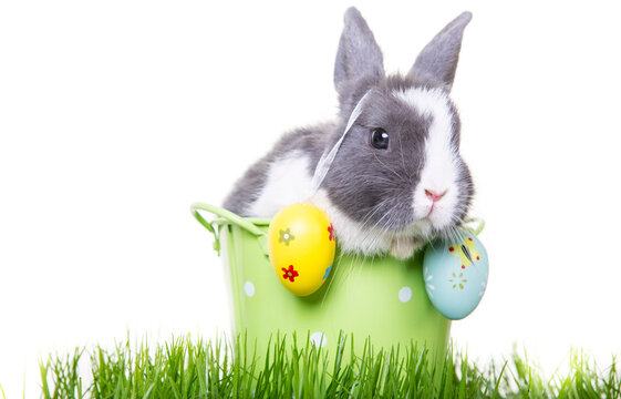 Gray easter bunny, white dwarf rabbit, sitting in flower pot with easter eggs on ears in green meadow.