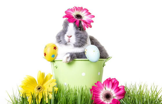 Greeting card gray and white easter bunny, dwarf rabbit, sitting in flower pot with easter eggs on ears in green meadow.