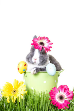 Postcard / backgroundof gray and white easter bunny, dwarf rabbit, sitting in flower pot with easter eggs on ears in green meadow.