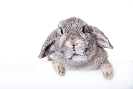 Card Easter bunny, hare, with light gray wild colored fur against isolated,white studio background.