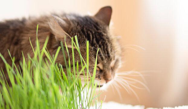 Cute ginger Siberian cat sitting beside a plant pot with fresh green grass