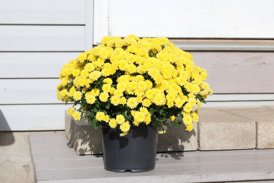 Yellow mum blooming, on porch step