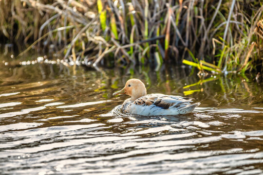 The Silver Appleyard dwarf duck in open water with color variation of soft orange colored head and neck