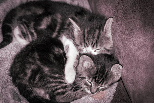 Two little kittens sleep in an embrace.