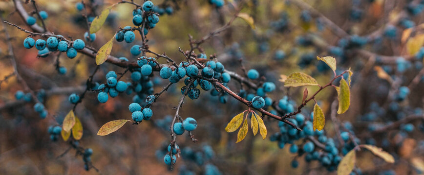Ripe sloe berries with green leaves on bush branches in the autumn season