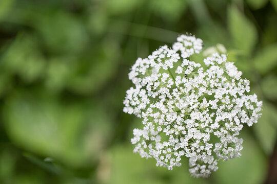 Ajwain, ajowan Trachyspermum ammi - a white field flower against a background of greenery
