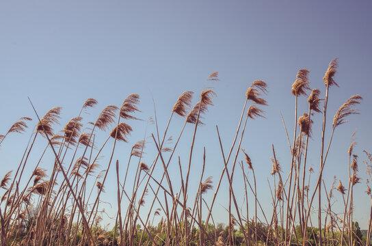 blades of pampas grass on blue sky