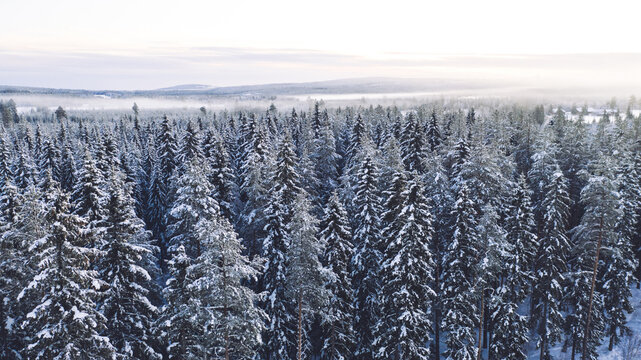 Aerial view from drone of frozen snowy pines of high trees in Lapland national park environment, bird's eye view of famous natural landmark in Riisitunturi on winter season at sunset time.