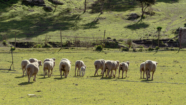 A huge group of sheep walking together on a big space on a farm.
