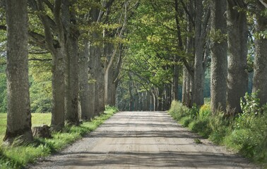 Dirt country road (alley) through the green oak trees on a clear summer day. Poland. Soft sunlight,...