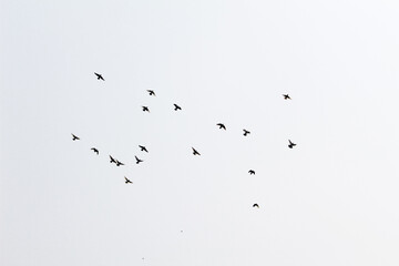 Fototapeta Beautiful view of a flock of birds flying in the sky