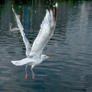 Seagull flies with open wings