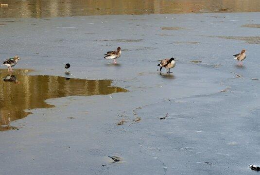 Vöel auf tauender Eisfläche