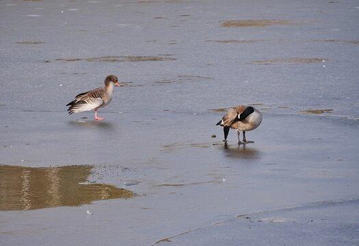 Vögel schlittern auf Eisfläche