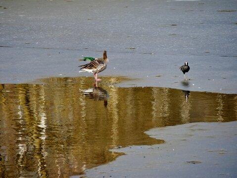 Enten und Gänse auf Eisfläche