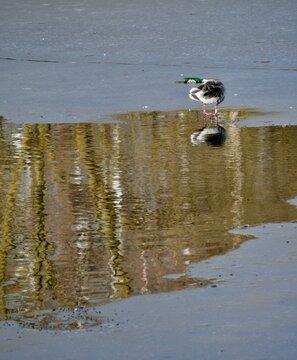 Ente spiegelt sich in Pfütze