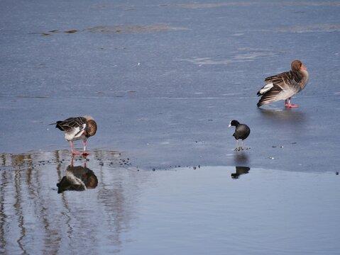 Bögel laufen auf zugefrorenem See