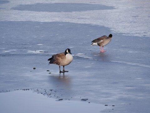 Enten stehen auf Eisfläche eines Sees