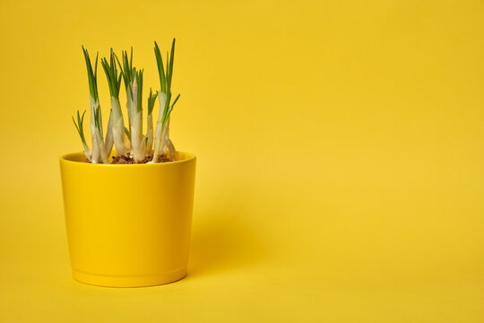 Crocus flowers grow in a yellow pot on a yellow background, place for text copyspace, mock up