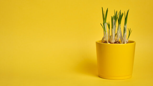 Crocus flowers grow in a yellow pot on a yellow background