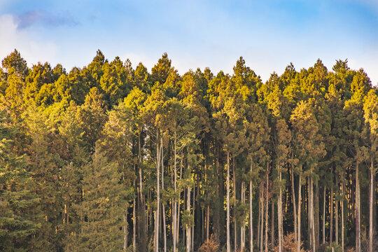 夕暮れの光を浴びた杉林