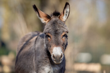 portrait of a young donkey