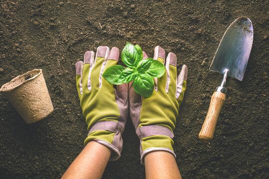 Gardener planting basil in the vegetable garden
