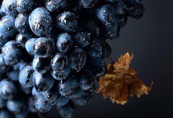 Wet dark blue grapes with dried leaf on a black background.