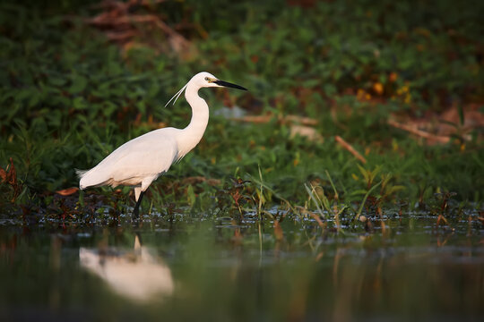 Little egret (Egretta garzetta) catches fish in the river Danube. White heron standing in the river and watching the fish. Wild scene from nature. The natural beauty of the Danube Delta in Romania