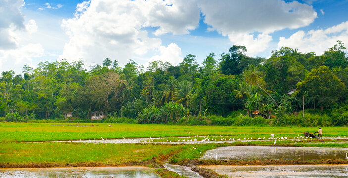 Rice growing on the fields . Wide photo,
