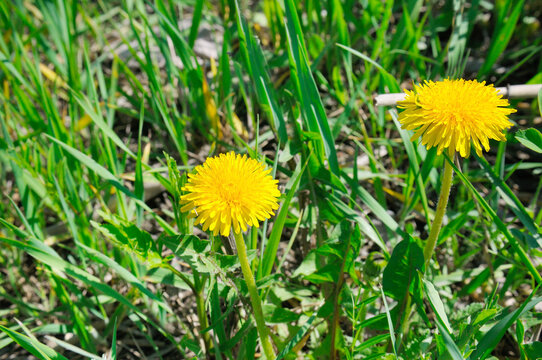 Yellow flowers of dandelions in green backgrounds. Spring background.